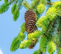 pine-cones-4214573_1280